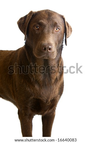 One Year Old Chocolate Labrador Male isolated against a White Background