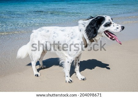 One year old dog setter in beach
