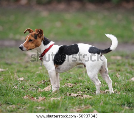 One-year old Jack Russell Terrier standing in a park - stock photo