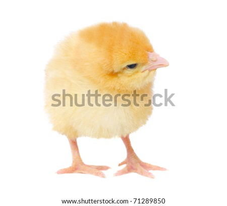 one yellow chicken. isolated on white - stock photo