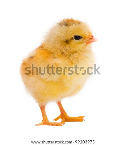 One yellow chicken isolated on white background - stock photo
