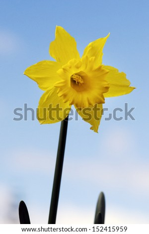 One yellow Daffodil flower ,Narcissus plant against blue sky.(Close up) - stock photo