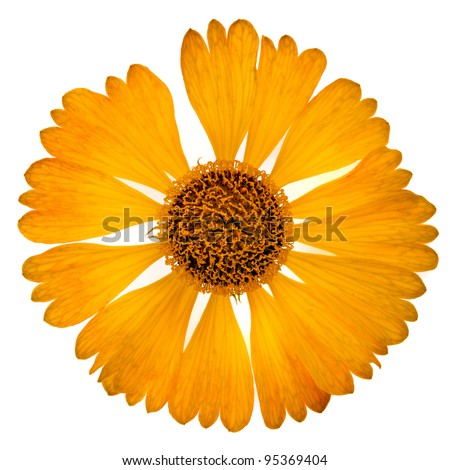 one yellow daisy flower isolated on white background - stock photo