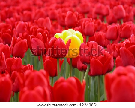 One yellow tulip in a sea of red tulips. - stock photo
