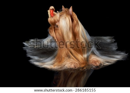 One Yorkshire Terrier that turned its head to the side and lies on black background - stock photo