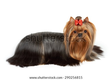 One Yorkshire Terrier with red bow perfectly groomed for dog show lies on white isolated background                     - stock photo