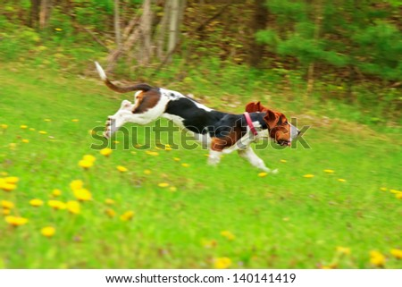 one young basset hound female dog playing in a field of yellow dandelion flowers, motion blur panning - stock photo