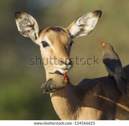 One young female Impala (Aepyceros melampus) being groomed by red billed oxpeckers, Botswana