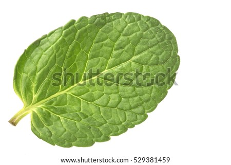 one young fragrant juicy green leaf of mint