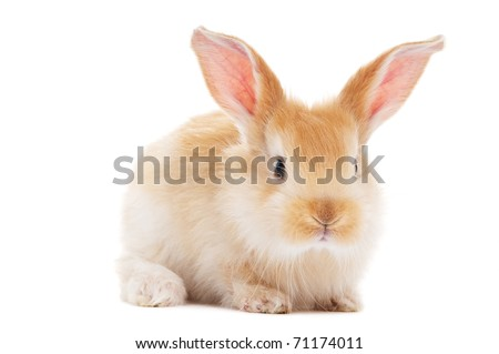 one young light brown and white spotted rabbits with long ears standing isolated on white - stock photo