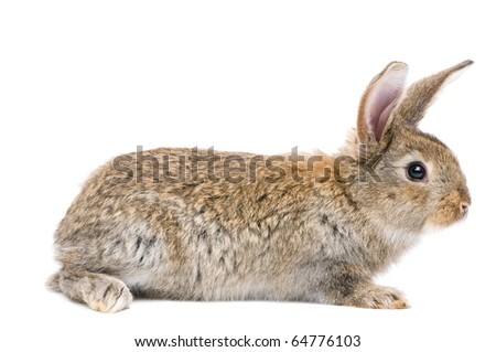 one young light brown rabbits with long ears standing isolated on white - stock photo