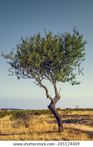 One young olive tree isolated in a countryside field - stock photo