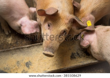One young piglet a pig breeding farm - stock photo