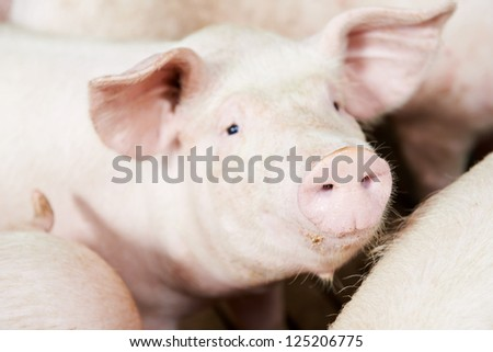 One young piglet in shed at pig-breeding farm - stock photo