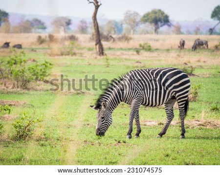 One zebra eating green grass on the savanna in a national park in Tanzania, East Africa. Landscape orientation.