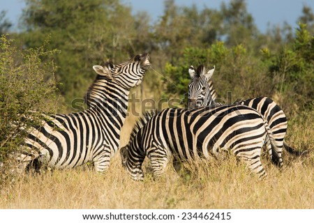 One zebra, Equus quagga, in a herd displays the Flehmen reaction in the Kruger National Park, South Africa. - stock photo