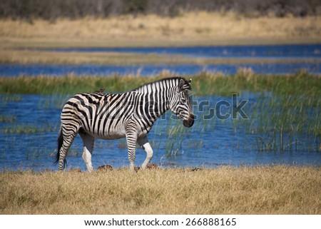 One zebra walking beside the blue waters of the Okavango delta - stock photo