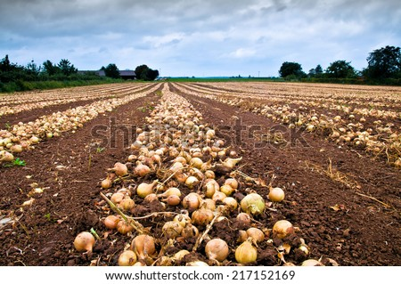 Onion after harvest in line on an agricultural field  - stock photo
