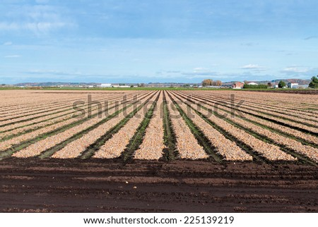 Onion field at harvest time - stock photo