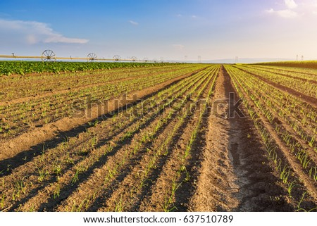 Onion field, maturing at spring. Agricultural landscape