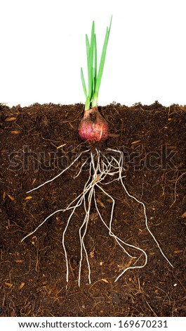 Onion Growing plant with underground root visible - stock photo