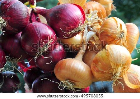 Onion harvest bulb crop raw
