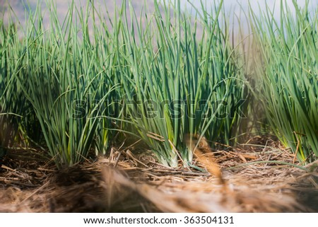 onion in agricultural garden - stock photo