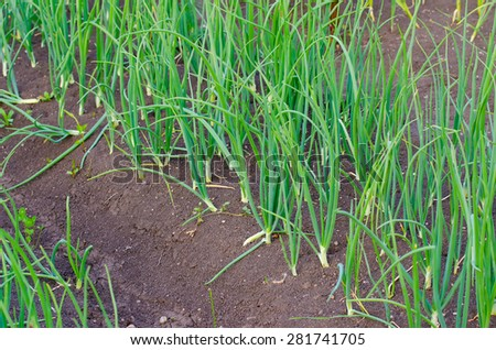 Onion patch in a rural garden with fertile soil suggesting organic home grown healthy vegetables - stock photo