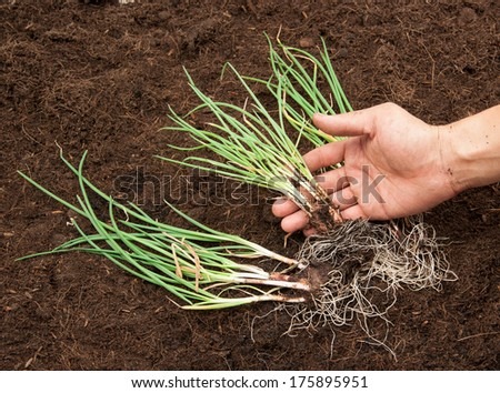 onion plant in the soil - stock photo