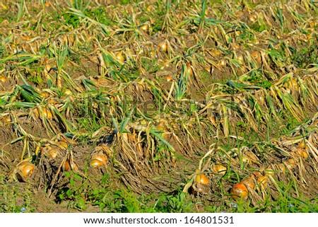 onion plantation - stock photo