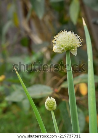 Onion shallots flowering in spring with white flower heads - stock photo
