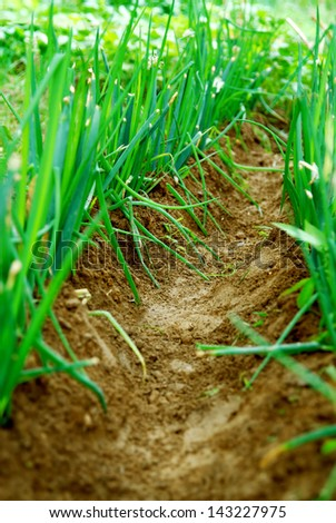 Onion sprouts in early spring at the kitchen garden - stock photo