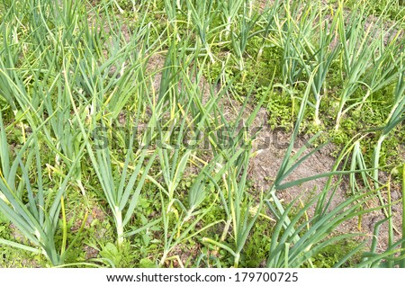 Onions in the organic vegetable garden. - stock photo