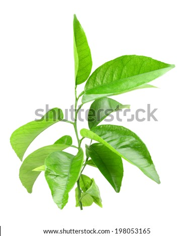 Only branch of citrus-tree with green leaf. Isolated on white background. Close-up. Studio photography. - stock photo