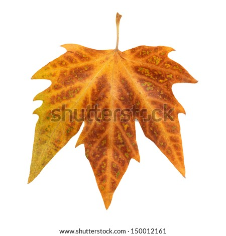 Only one autumn leaf isolated on a white background - stock photo