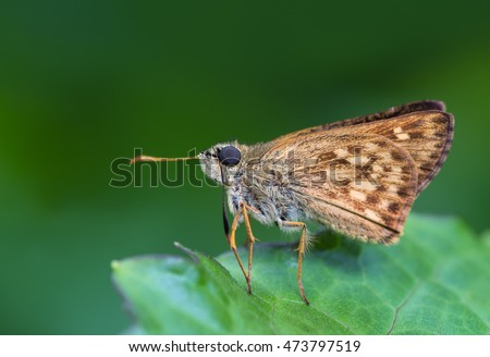 Onryza siamica,brown butterfly on green background