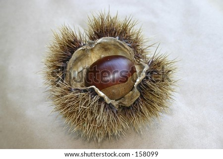 Open chestnut - stock photo