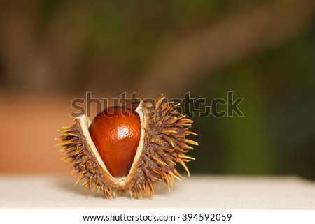 Open chestnut as decoration on a light background - stock photo