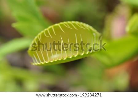 Open leaf trap of a Venus Flytrap plant - stock photo