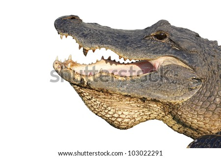 Open mouth of an American alligator (Alligator mississippiensis) isolated against white - stock photo