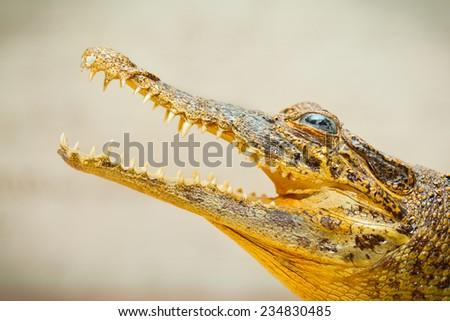 Open mouth with sharp teeth crocodile - stock photo