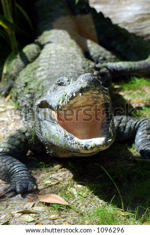 Open Mouthed Alligator - stock photo