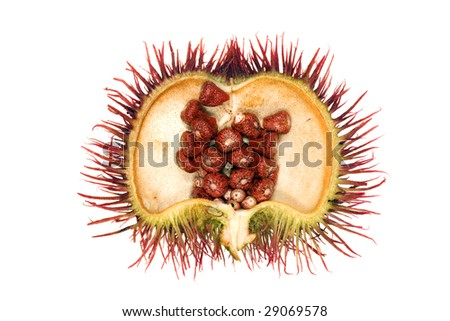 Open pod of Achiote (Bixa orellana), source of Annatto dye - stock photo