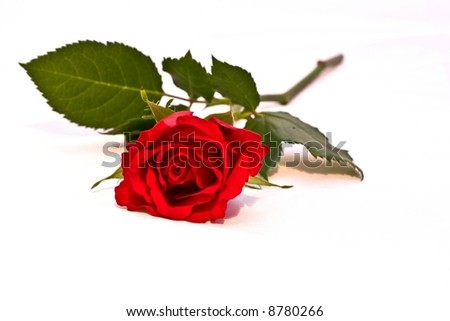 Open Red Rose isolated on White Background - stock photo