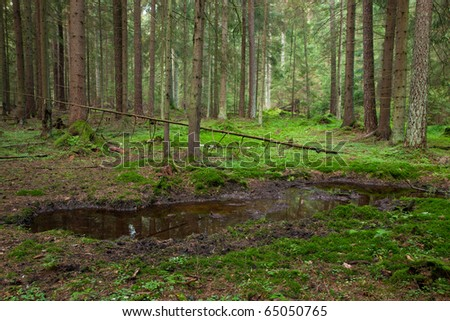 Open standing water inside coniferous stand in morning - stock photo