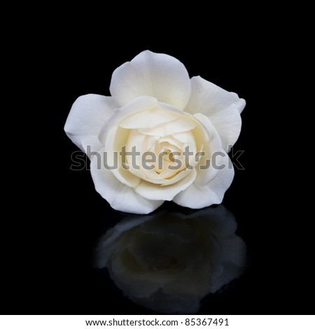open white rose button with reflection isolated on black background - stock photo