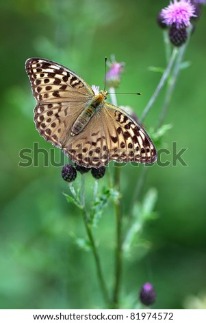 open wings of Silver-washed Fritillary (Argynnis paphia) butterfly - female Valezina