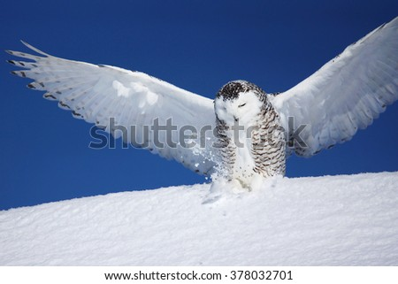 Open wings, snowy owl, Bubo scandiacus, landing on the snow - stock photo