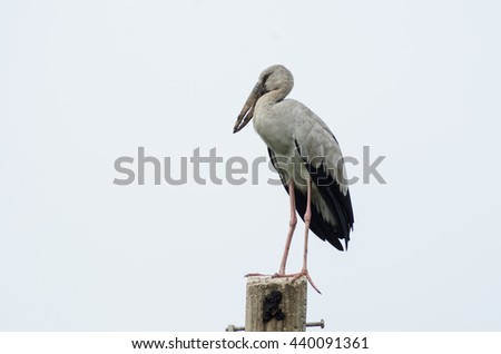 Openbill bird standing on a white background light pole.
