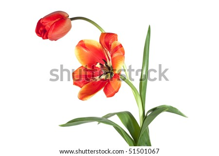 Opened and closed tulip on white background - stock photo